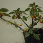 Impatiens niamniamensis - Congo Impatiens (Impatiens niamniamensis - Congo Impatiens)