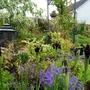 Black Iris and blue geraniums