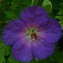 Geranium_jolly_bee_