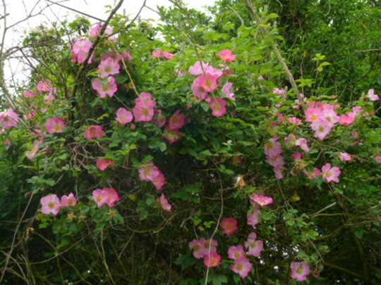 Wild roses growing in the hedgerow  