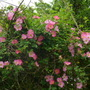 Wild_rose_in_the_hedgerow_.