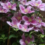 Clematis 'Little Duckling'