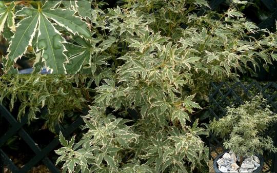 Variegate Japanese maple (Acer palmatum)
