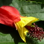 Abutilon megapotamicum  (Abutilon megapotamicum)