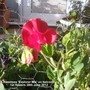 Sweetpea_explorer_mix_on_balcony_1st_flowers_28_06_2012
