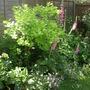 Lime Coloured Smoke Bush (cotinus)