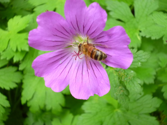 Geranium and visitor