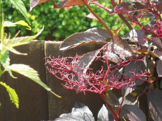 Sambucus after flowering