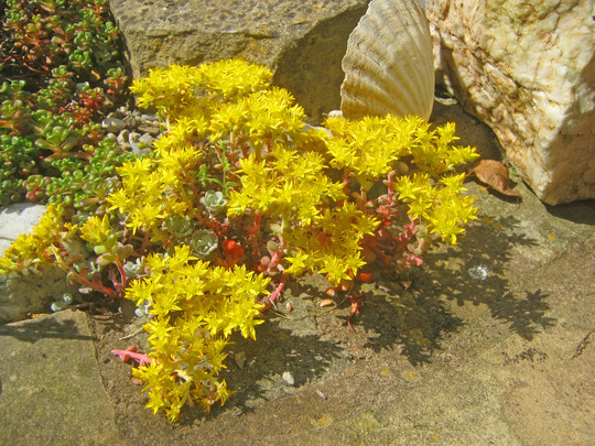 Sedum Cape Blanco (Sedum Cape Blanco)
