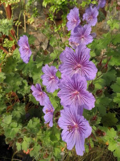 Geraniaum electric blue, purple etc