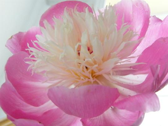 Bowl of Beauty Peony.. (Paeonia lactiflora (Peony))