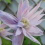 A Star In Its Own Right.. (Clematis montana (Clematis) Ranunculaceae)