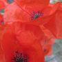 Poppy (papaver)