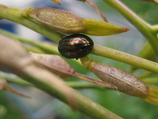 Rosemary Bug (Chrysolina americana)
