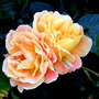Rose &quot; Southampton&quot;