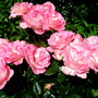 "Rose "" Cliff Richard """
