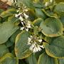 Flowering Hosta.