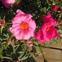 moss rose (Portulaca grandiflora (Double Rose Moss))