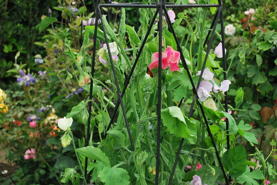 At last sweet peas flowering.... (sweet peas)