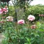 Rose Tickled Pink with Calmagrotis in background