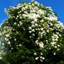 Holly tree  with  'Rambling Rector '  growing through it