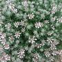 Lotus dorynium Hirsutus