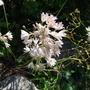 Allium2.jpg