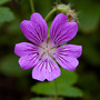 A wonderful lady (Geranium 'Mrs Judith Bradshaw')