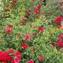 Carpet Roses