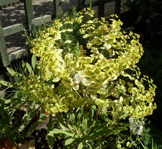 Euphorbia Ascot