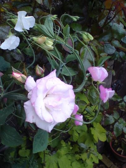 Handel rose with Sweetpeas