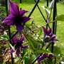 Newest Clematis 'Guiding Promise' Short growing to about 1m.