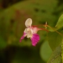 Impatiens balfourii (Impatiens balfourii (Kashmir Balsam))
