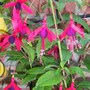 Lady Boothby Fuchsia