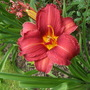 Helianthemum Daylily &#x27;Double Firecracker&#x27; (Hemerocallis)