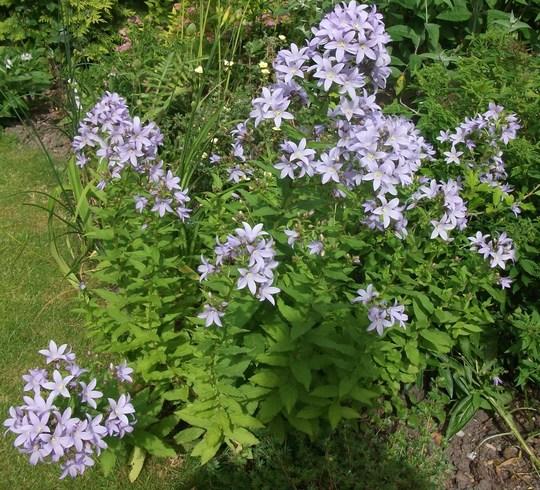 Campanula lactiflora 'Pritchards Variety (Milky bellflower) (Campanula lactiflora (Milky bellflower))