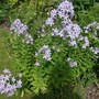 Campanula_lactiflora_prichards_variety_milky_bellflower_