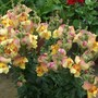 Antirrhinum (Snapdragon) 'Antirodora Yellow' (Antirrhinum (Snapdragon) 'Antirodora Yellow')