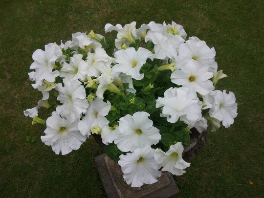 Petunias (Petunia single)