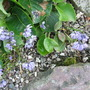 Alliumcyaneum.jpg