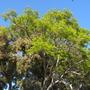 Delonix regia - Royal Poinciana, Flamboyant and Corymbia ficifolia - Flowering Gum