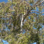 Ficus pertersii -  Peter's Fig (Ficus pertersii -  Peter's Fig)