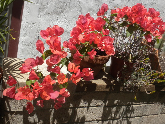 Bougainvillea 'Orange King' - Orange King Bougainvillea (Bougainvillea 'Orange King' - Orange King Bougainvillea)