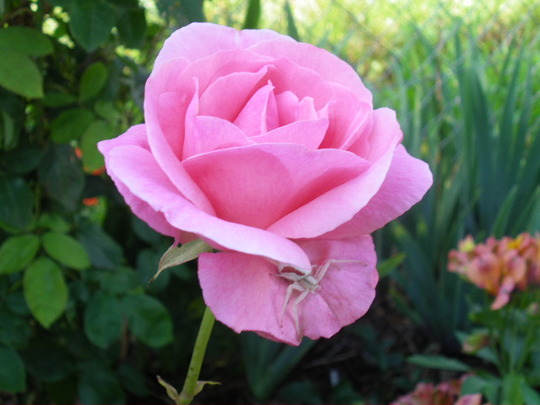 A sight for sore eyes...'Queen Elizabeth' Rose