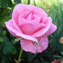 A sight for sore eyes...'Queen Elizabeth' Rose