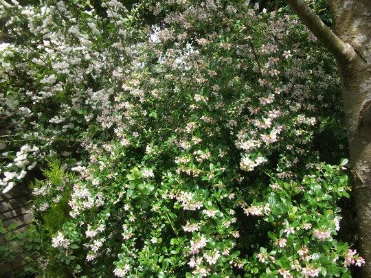 Escallonia 'Apple Blossom'  12-14 years old now. (Escallonia Apple blossom)