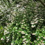Escallonia 'Apple Blossom'  12-14 years old now. (Escallonia Apple blossom)