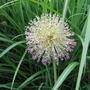 Alliumgiganteumseedhead.jpg