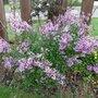Syringa meyeri (Syringa meyeri (Lilac))