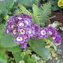 auricula (Auricula)